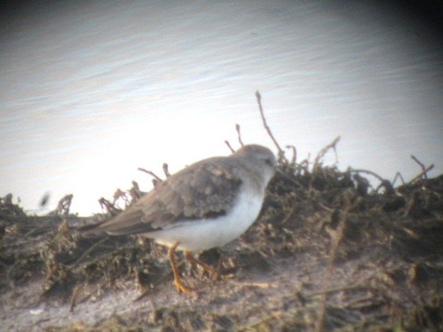 Temminck's Stint, Steart, Somerest (1/1/13)