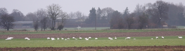Bewick's Swan panorama (30/12/13)